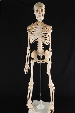 お宝発見Σ(゚Д゚)人体 骨格 模型(ミニ骨格模型)限定1名様★画像使用OK♪上代価格¥13650